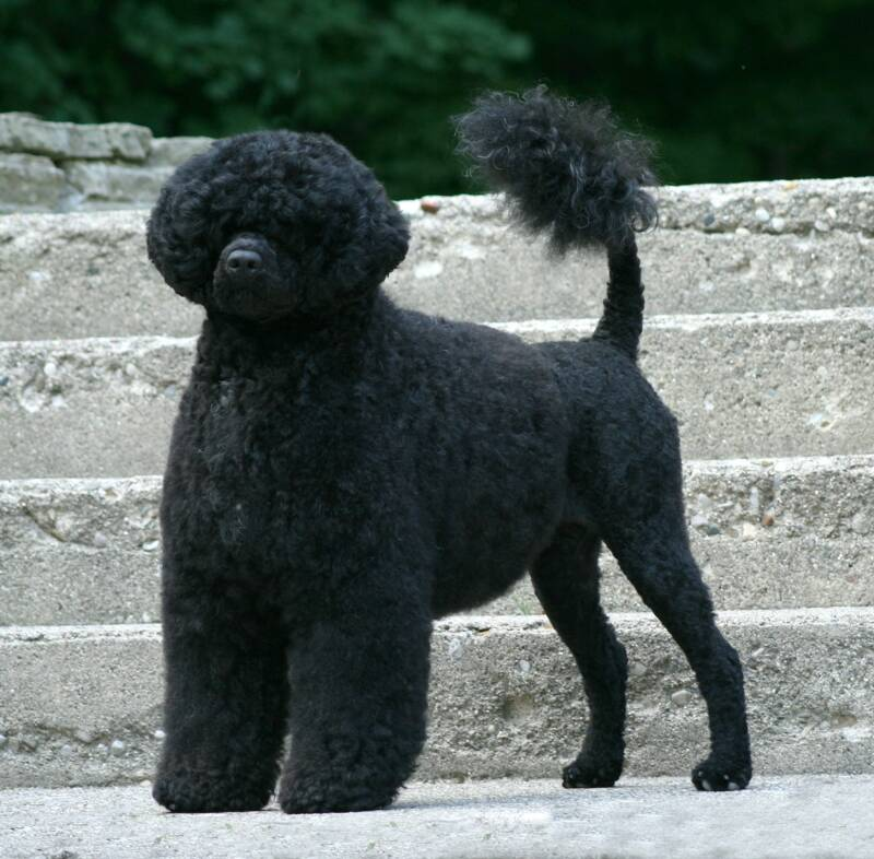 Grooming Portuguese Water Dog Puppies